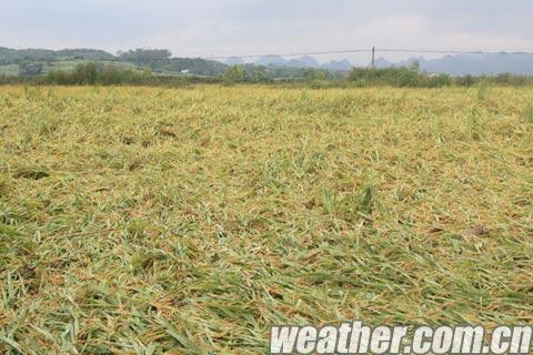 """台风""""韦森特""""骚扰 来宾农业受影响"""