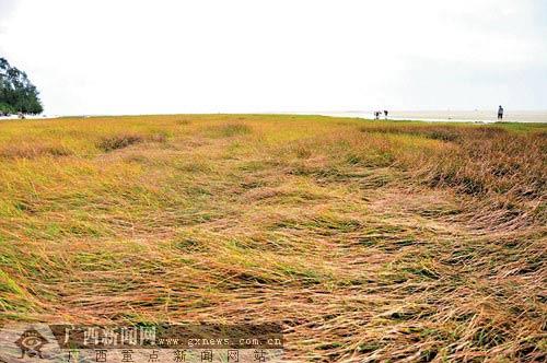 今年雨水丰沛致北海银滩盐沼草群落生长茂密