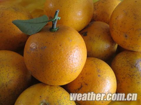上市的迷你橙.jpg