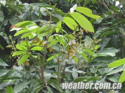 龙眼树枝头形成带有叶子的花穗