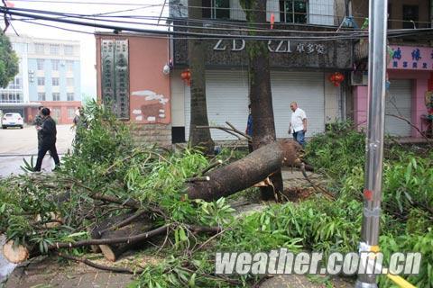 被大风连根拔起的扁桃树