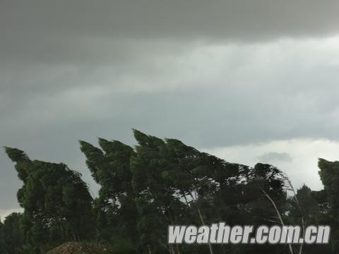 阵风锋过境出现大风,树木被大风吹歪