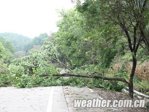 被大风吹断的大树堵住了半个路面