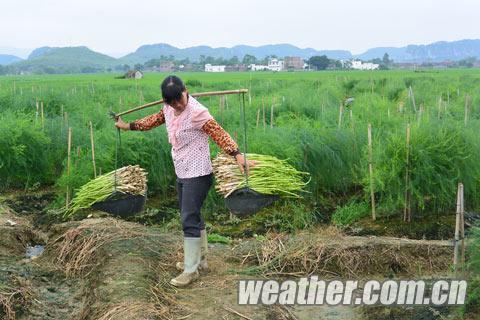 来宾气候温润芦笋丰收在即
