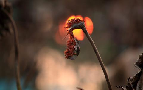 红红的夕阳像是正在燃烧残菏的火焰
