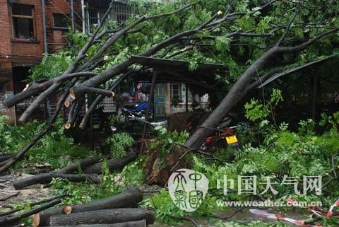 在该小区两栋居民楼之间,被吹倒的大树有4棵,大树的根部裸露在外,树根
