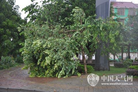 一路上确实有不少景观树被大风吹倒,路边还有被风吹坏丢弃的雨伞.