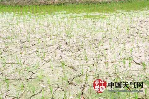 上思雨少干旱稻田开裂
