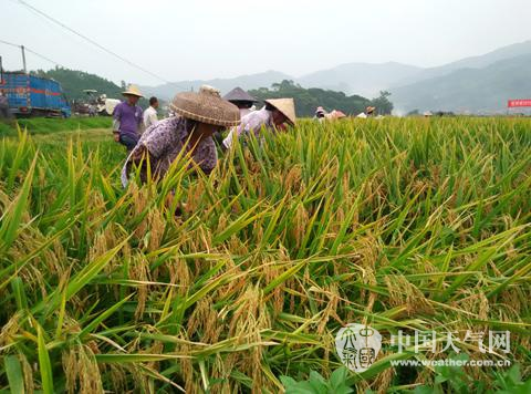 割稻谷时的图片。_农友人工收割水稻也毫不逊色图片