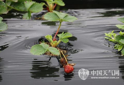 邕宁遭连阴雨草莓遭殃