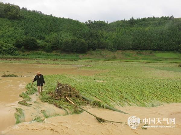 农民伯伯查看灾情.-水稻丰收在即却遭天灾 广西首页 中国天气网图片
