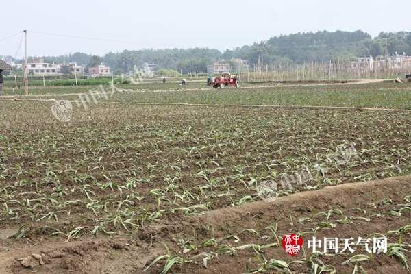 贺州天气好菜农忙种植
