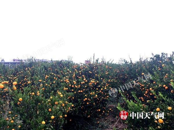 全州柑橘丰收大量上市