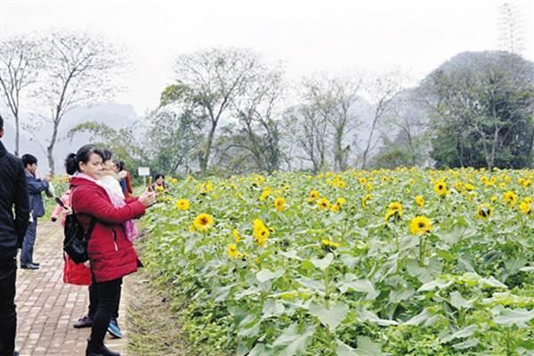上林霞客桃源风景区成片向日葵吸引游客观赏,留影.