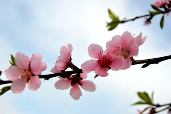 隆林早桃产量或受影响