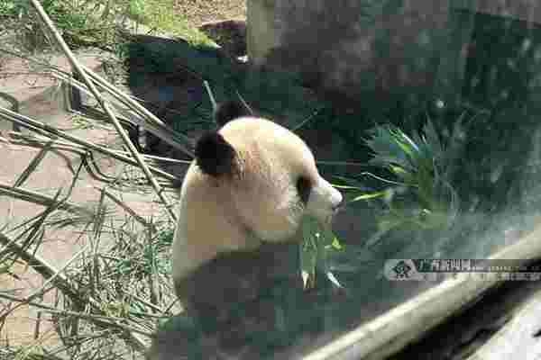 国家林草局熊猫中心将赠予广西首对大熊猫