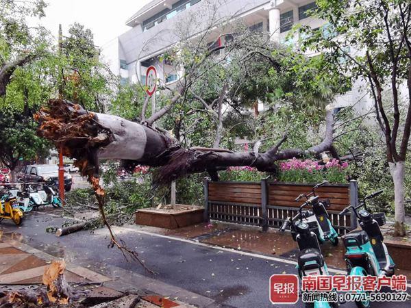 桂林一棵大榕树断裂倒下