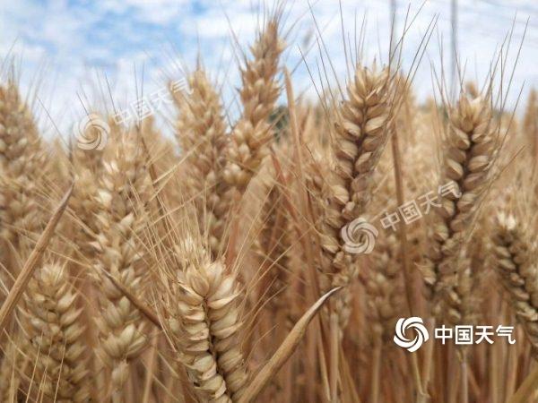 金黄麦粒.jpg