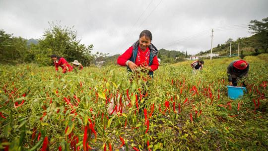 贵州大方金秋喜丰收 小辣椒种出红火日子