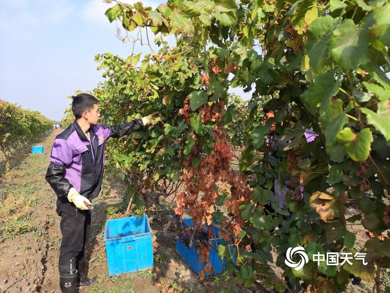 石嘴山:开展降雪降温天气对酿酒葡萄影响调查