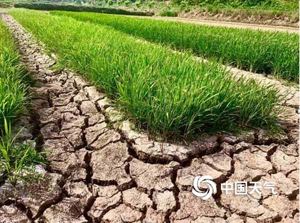 遂宁出现夏旱 农田干涸开裂严重