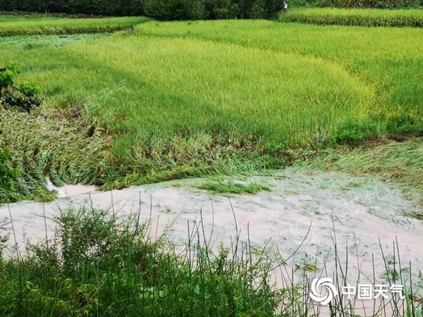 荣县遭遇暴雨袭击 农作物受损严重