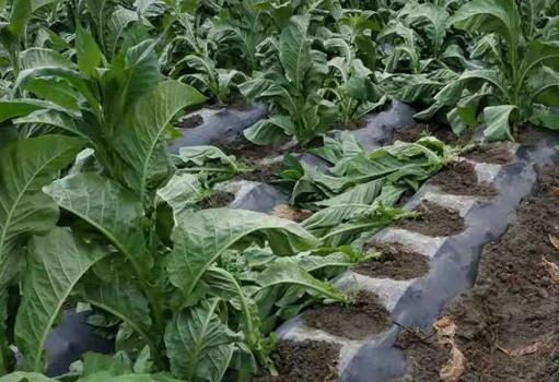 芒市强对流来袭 大风致农作物倒伏