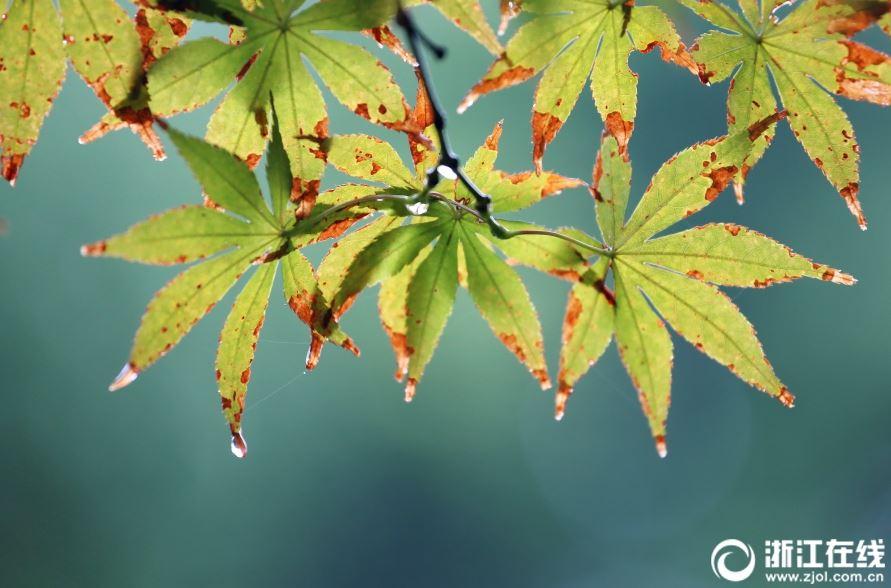 嘉兴秋分秋雨秋叶黄