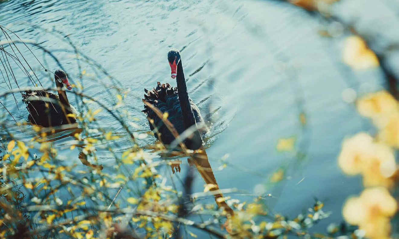 阳光四溢 丽水九龙湿地公园黑天鹅嬉戏