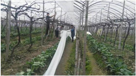 果农们开始忙碌着对桃树进行修剪多余枝条以及为大棚葡萄做好防冻保暖