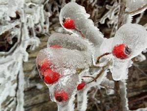 见证自然的力量 野果瞬间被冰封