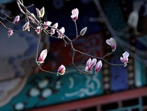 北京颐和园朵朵玉兰俏