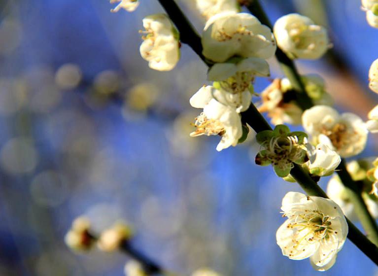 暖阳上线 湖南株洲朵朵梅花映蓝天