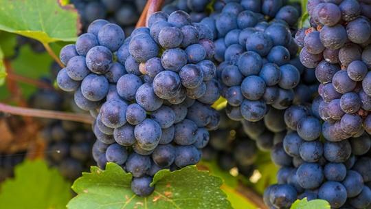 立秋吃什么水果好 8种清肺润燥时令鲜果